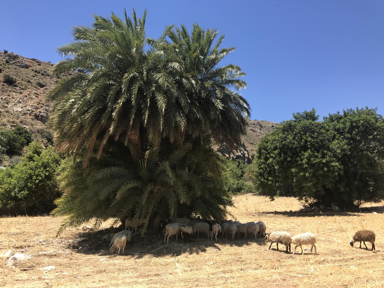 Schafe unter Palme