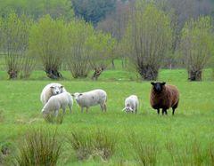 Schafe vor Kopfweiden
