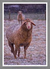 Schafe würden...