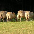 Schafe.Ein schöner Rücken kann auch entzücken.