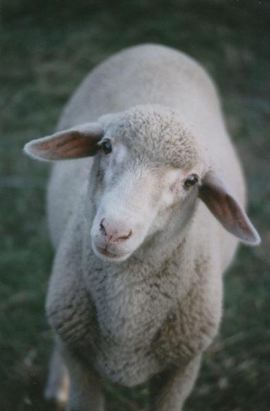 Schafes Bruder