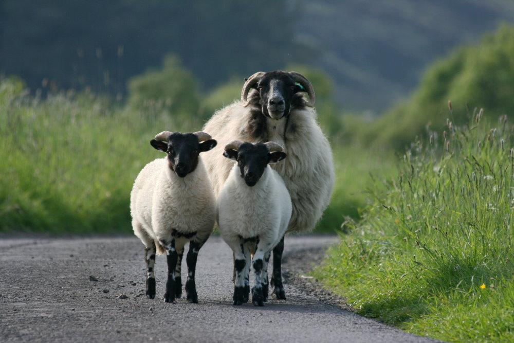 Schaffamilie in Pitlochry/Schottland im Juni 2008