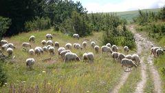 Schafherde bei Serrarota 1350m kreuzt den Wanderweg