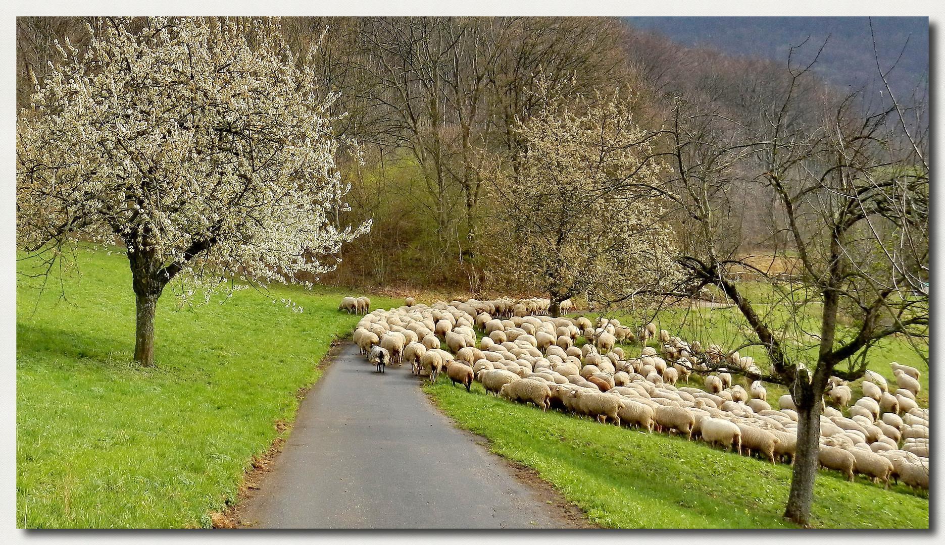 Schafherde im Frühling... Foto & Bild | jahreszeiten, frühling ...