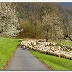 Schafherde im Frühling...