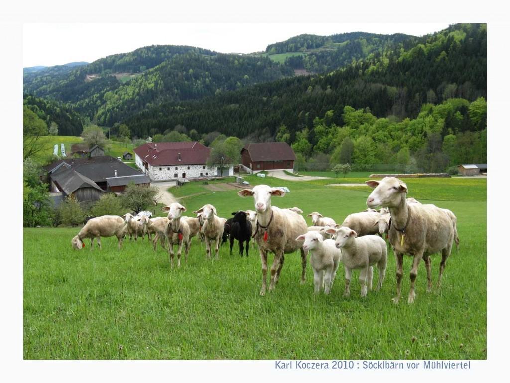 Schafherde im Mühlviertel