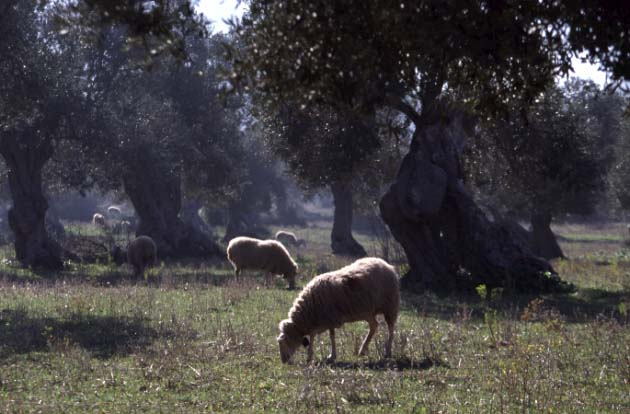 Schafherde in Mallorca