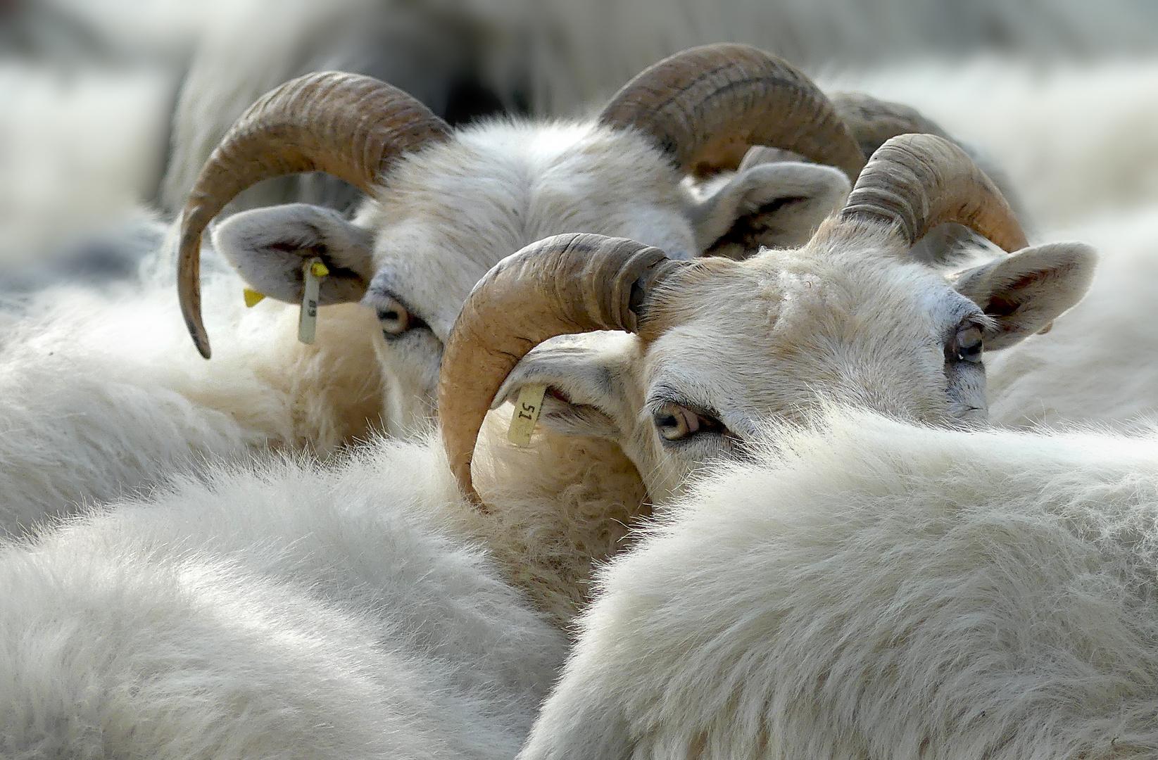 Schafköpfe