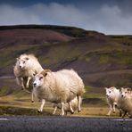 Schafrennen