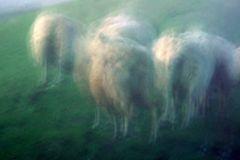 Schafs-Geister