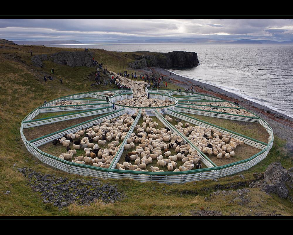 Schafsabtrieb bei Hamarsrétt