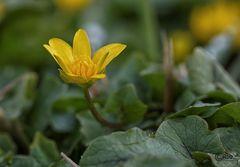 Schafsbockskraut (Ficaria verna oder alt Ranunculus ficaria)