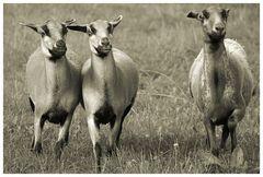 Schafsflucht