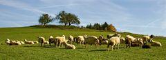 Schafsherde ...
