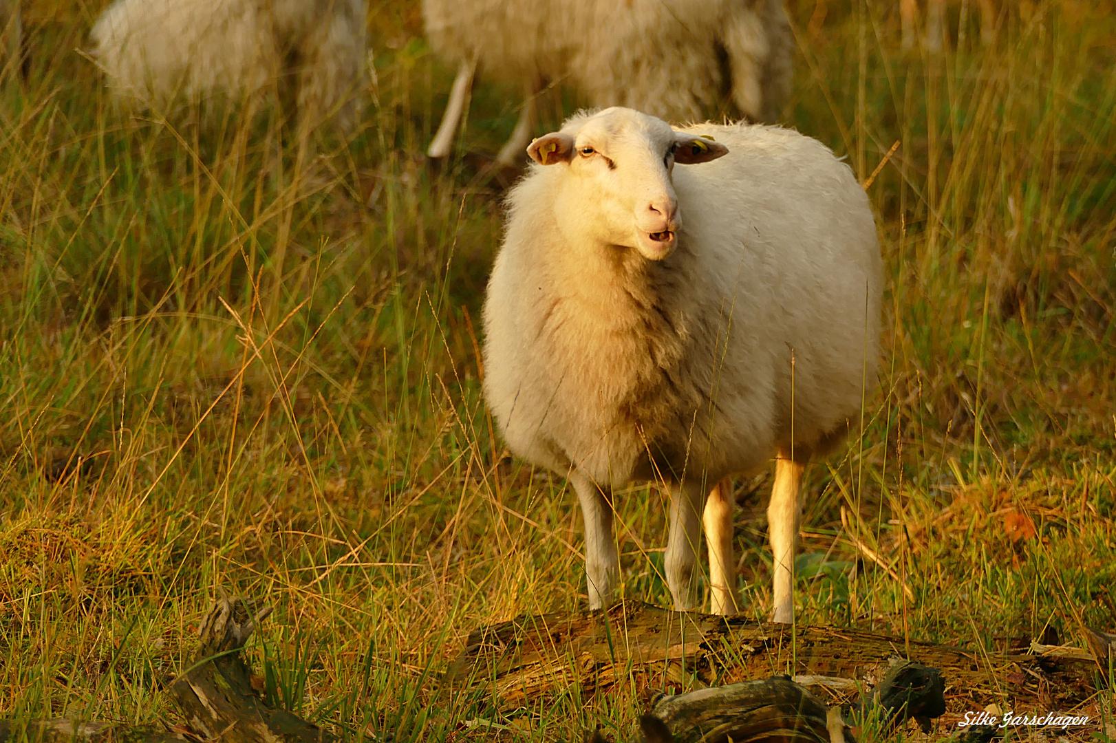 Schafsherde im ehemaligen Munitionsdepot Brüggen