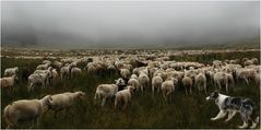 Schafsherde im Nebel (2)