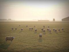 Schafsrunde im Sonnenaufgang