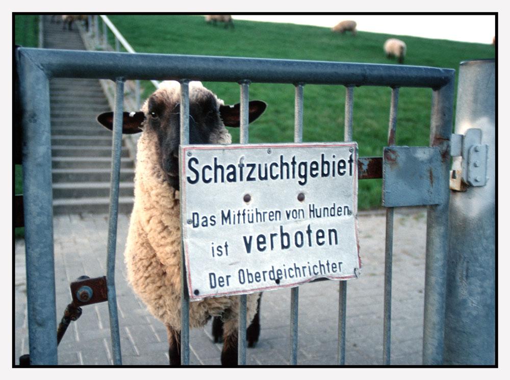 """""""Schafzuchtgebiet"""" am Deich"""