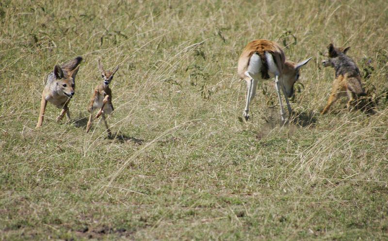 Schakal reißt Thompson-Gazelle 0