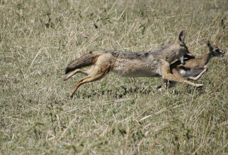Schakal reißt Thompson-Gazelle