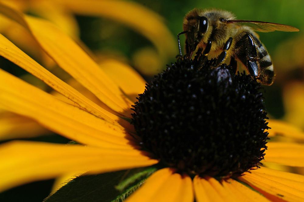 Scharfe Biene - gewidmet : Juan Herren