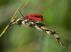 Scharlachroter Netzkäfer (Dictyoptera aurora)