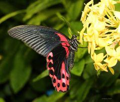 Scharlachroter Schwalbenschwanz-Papilio rumanzovia