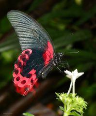 Scharlachroter Schwalbenschwanz Papilion rumanzovia_1