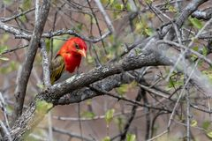 Scharlachweber - Red-headed Weaver (Anaplectes rubiceps)