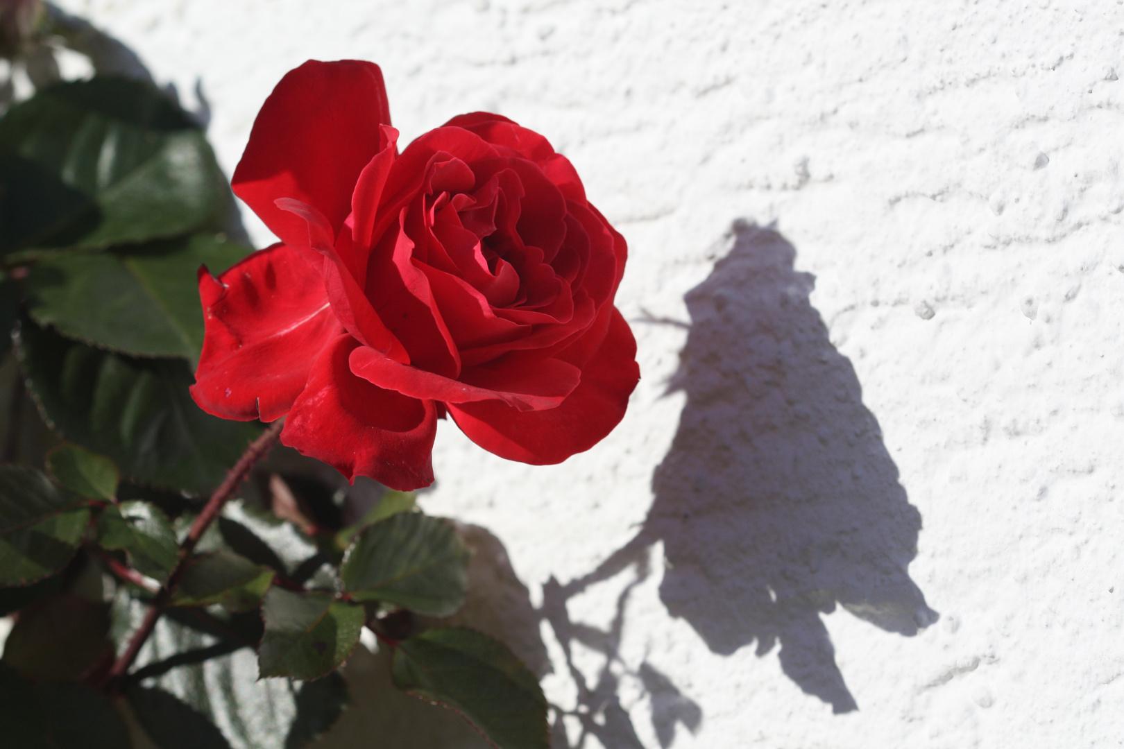 Schatten einer Rose