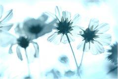 schattenblümchen