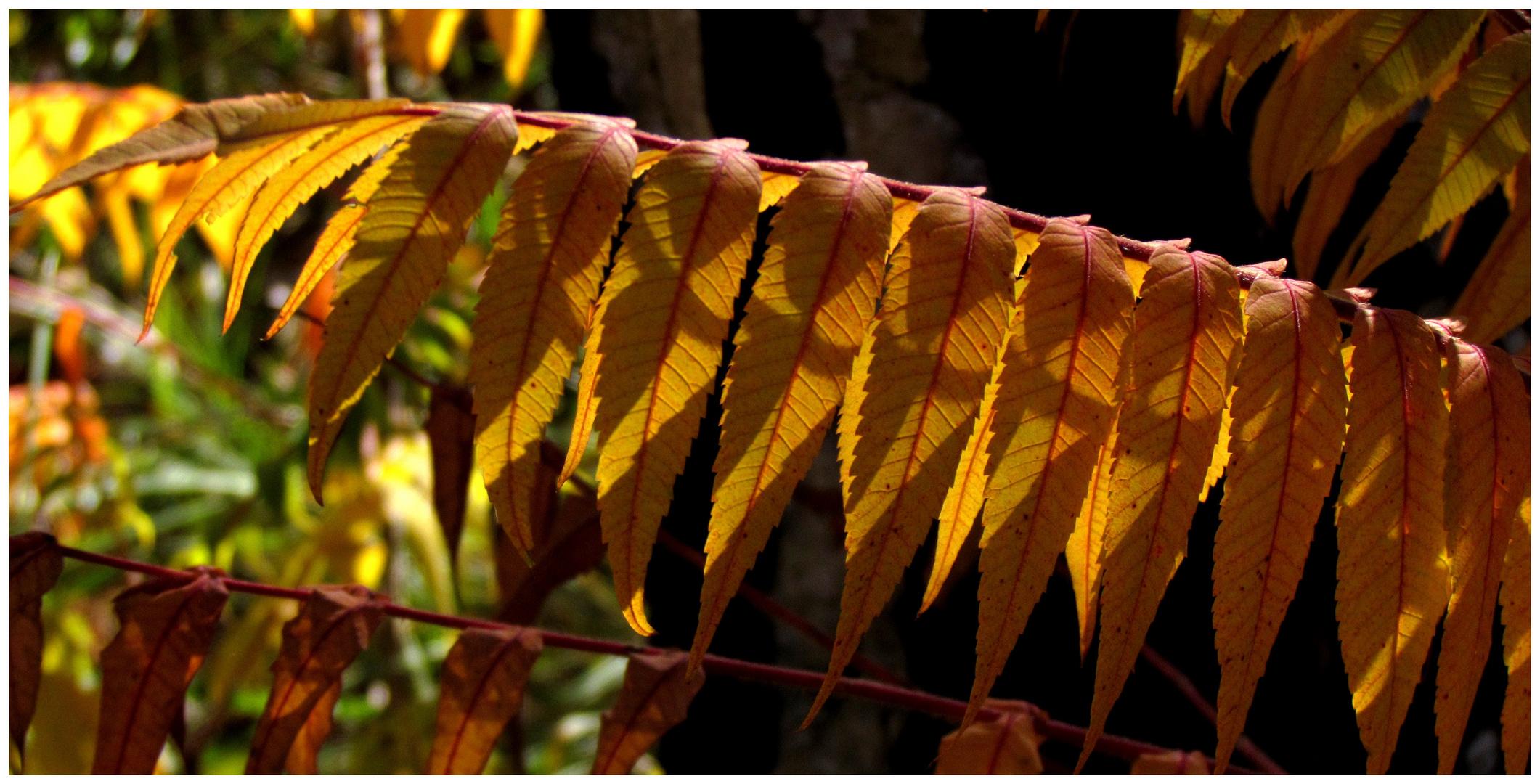 Schattenspiele am Herbstlaub des Essigbaumes (Rhus typhina)