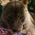 Schau mir in die Augen, kleine Löwin