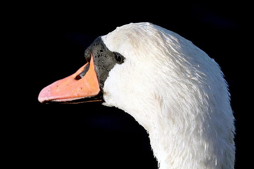 schau mir in die augen kleines - ich bin der coolste und schöneste schwan auf der ganzen welt