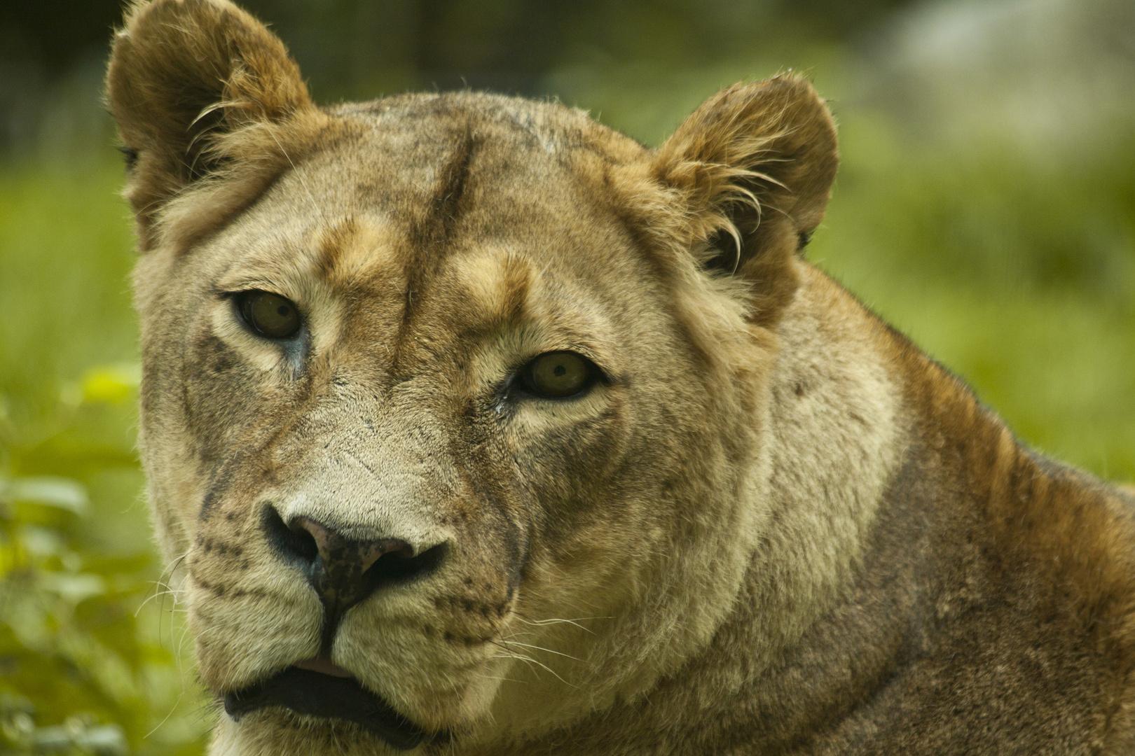 Schau mir in die Augen Löwe
