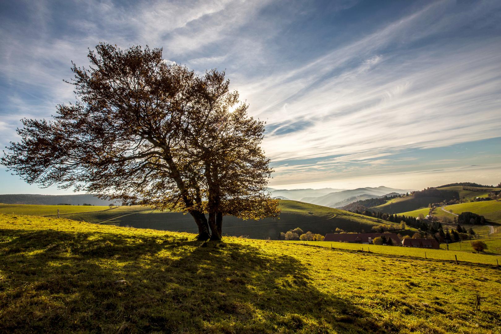 Schauinsland Baum