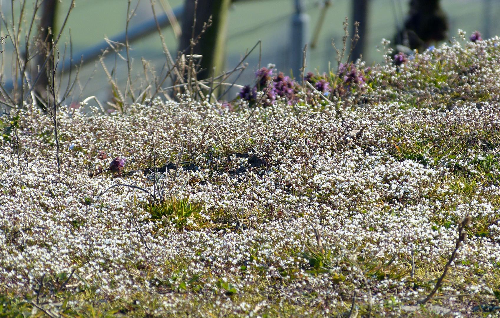 Schaumblüten - Blütenschaum