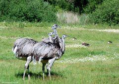 Schaut mal wie schnell der laufen kann ,Maradonna der kleine dicke graue Vogel