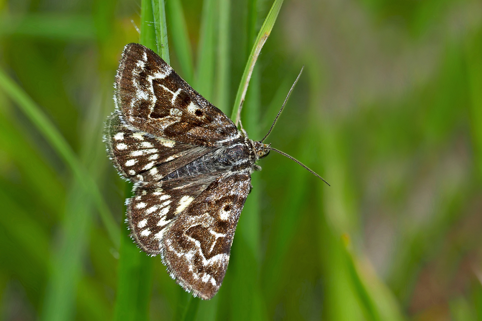 Scheck-Tageule (Euclidia mi) - Le Mi, un papillon de nuit.