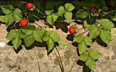 Scheinerdbeeren (Duchesnea indica)