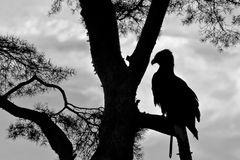 Scherenschnitt-Foto-Adler