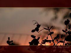 Schicksalsblüte ... in der Abendsonne...