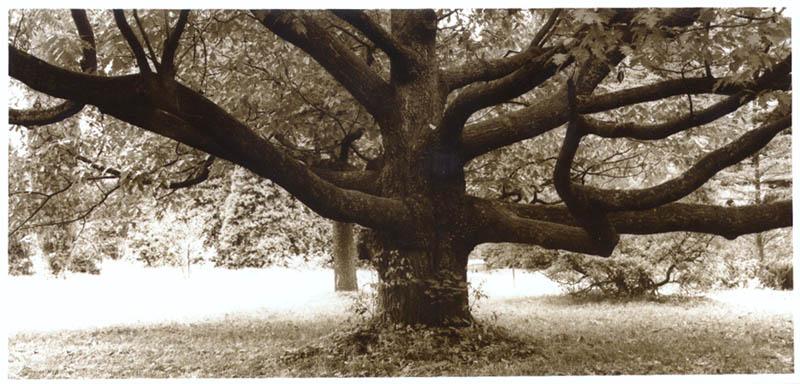 Schickungsbaum