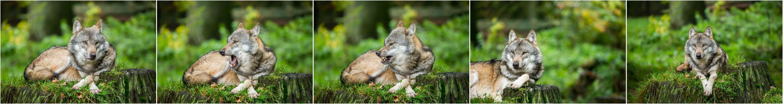 schieben erlaubt der wolf im schafspelz foto bild. Black Bedroom Furniture Sets. Home Design Ideas