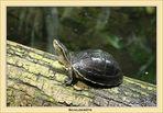 Schildkröte 1