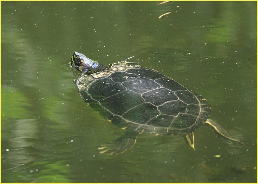 Schildkröte 2