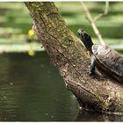 Schildkröte....