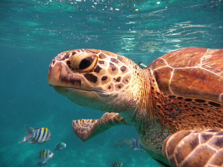 Schildkröte auf Similian Island