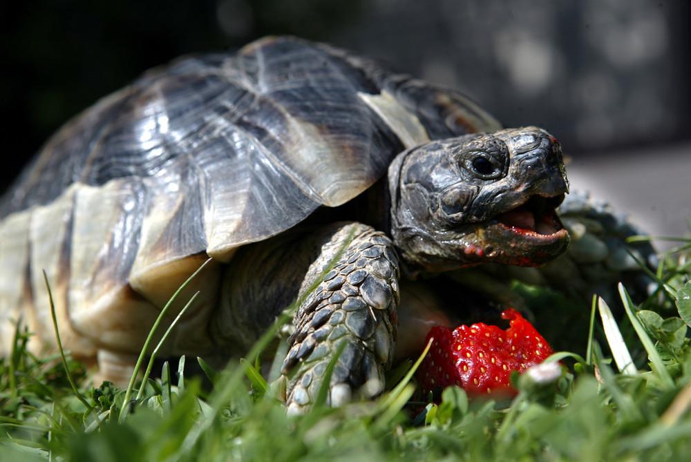 Schildkröte beim Erdbeerfressen