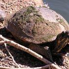 Schildkröte beim Sonnenbaden